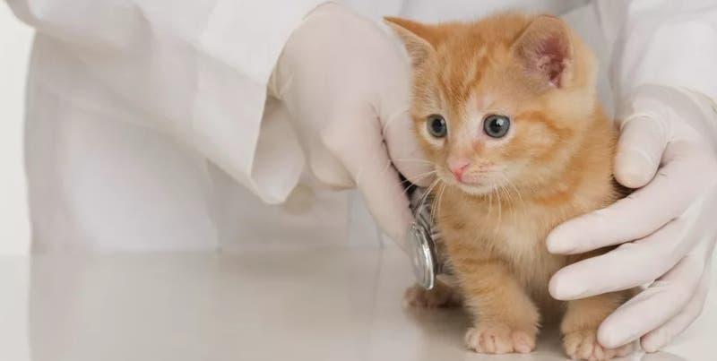 Cómo cuidar la salud de tu gatito y por qué debes llevarlo al veterinario de forma preventiva