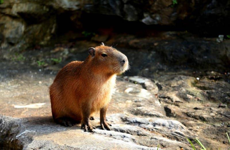 Invasión de carpinchos (o capibaras) tiene en vilo a Argentina: rompen jardines y atacan a perros