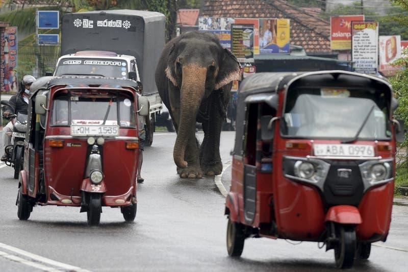 Sri Lanka prohibe conducir elefantes en estado de embriaguez: Buscan disminuir el maltrato
