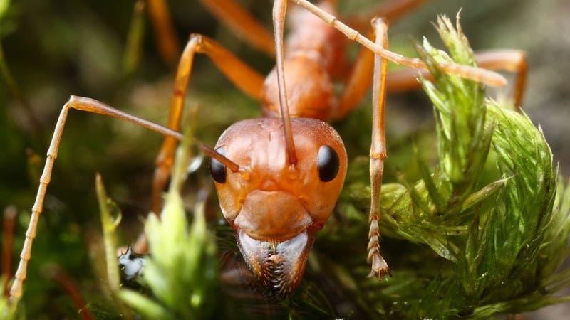 Cómo son las hormigas esclavistas que capturan a otras