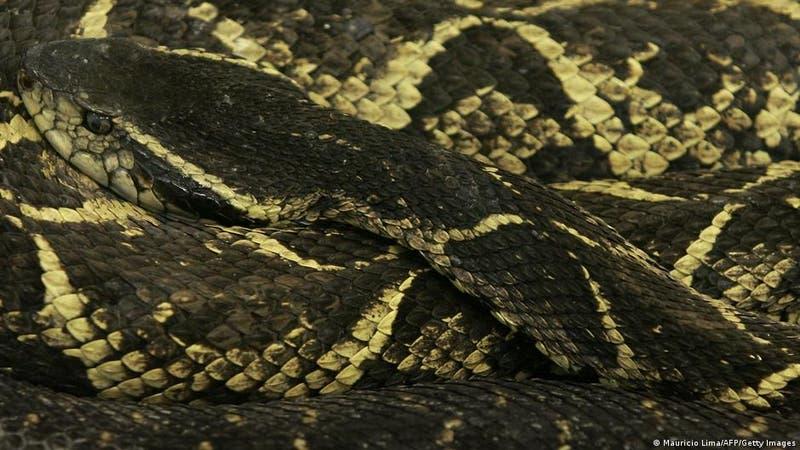 Brasil: identifican sustancia de serpiente capaz de impedir reproducción del COVID-19