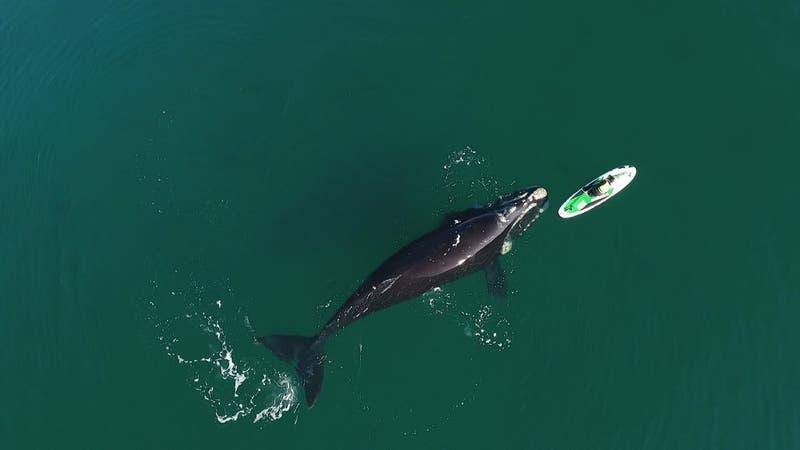 """El impresionante video de una ballena """"jugando"""" con una mujer que rema en el sur de Argentina"""