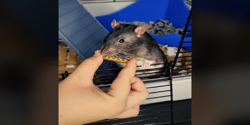 Los videos del roedor llamado Mr. Blik tienen millones de reproducciones en Tik Tok.