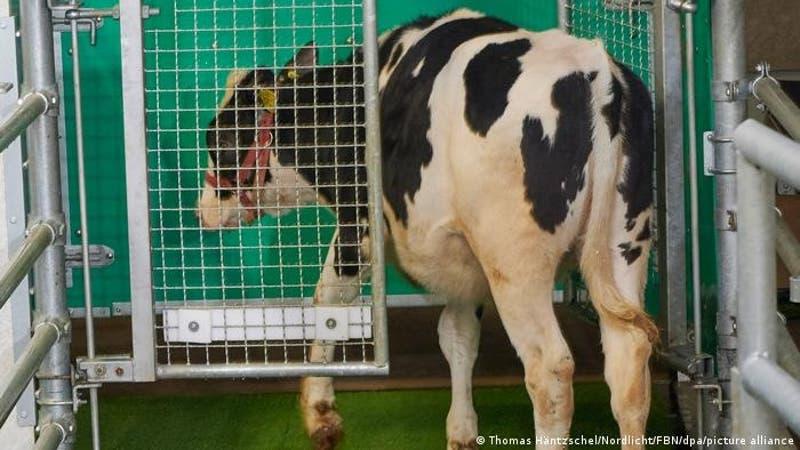 Científicos les enseñan a las vacas a ir al baño para proteger el medio ambiente