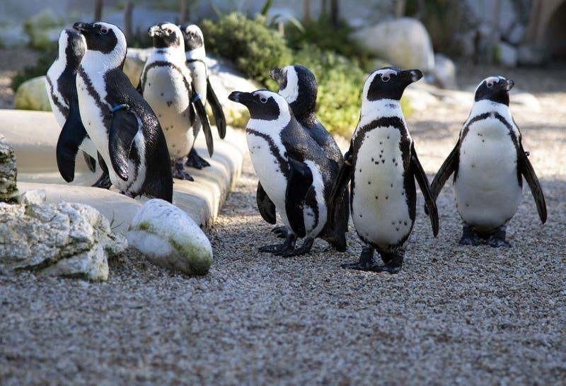 Más de 60 pingüinos mueren en Sudáfrica a causa de picaduras de abeja