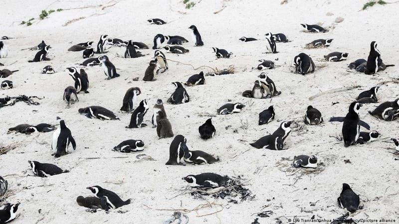 Enjambre de abejas mata a 64 pingüinos en peligro de extinción en Sudáfrica