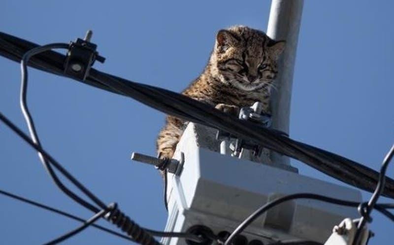 Recatan a un gato güiña atrapado en un poste de luz cuando huía de ataque de tiuques