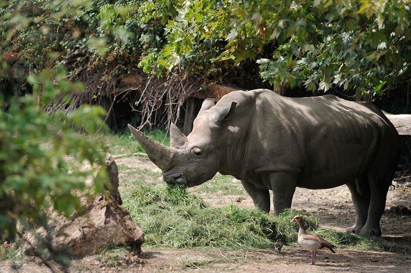Muere en Italia a los 54 años el rinoceronte blanco más viejo del mundo