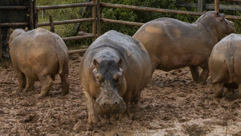 Esterilizan 24 hipopótamos en Colombia, legado insólito de Pablo Escobar